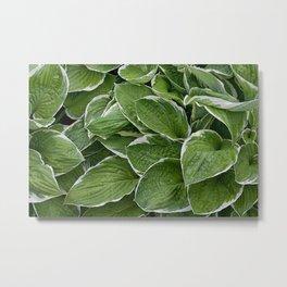 Hosta Leaves in the Rain Metal Print