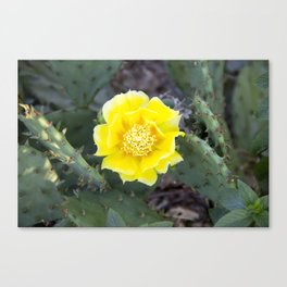 Yellow Cactus Flower Canvas Print