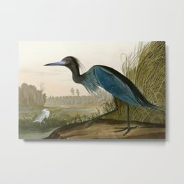 Little Blue Heron - John James Audubon's Birds of America Print Metal Print