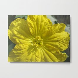 beauty in the mundane - ants and the luffa flowers Metal Print