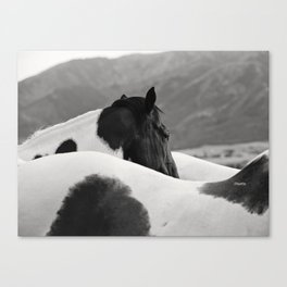 Pinto Horse Photograph Canvas Print