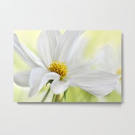 Cosmea white macro 037 Metal Print