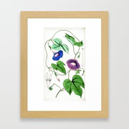A Purging Pharbitis Vine in full blue and purple bloom - Vintage illsutration Framed Art Print