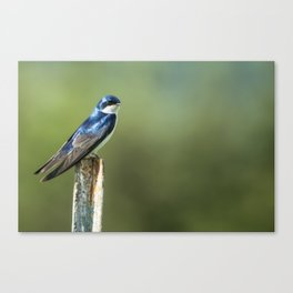 Tree Swallow Sitting on a Post Canvas Print