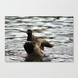 Mallard Duck flapping wings Canvas Print