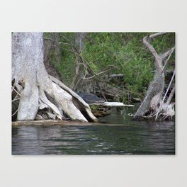 Peek a boo Gator Canvas Print