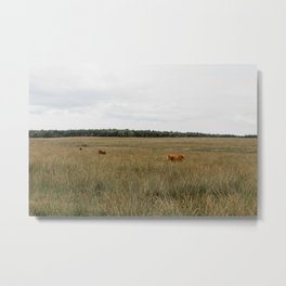 Highland Cows eating grass | Scottish Highlanders, cattle, cows in the Netherlands | Wild animals | Fine art travel and nature photography Metal Print