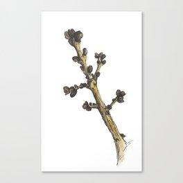 sprig Canvas Print