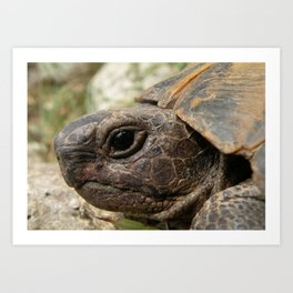 Close Up Side Portrait Of A Turkish Tortoise Art Print