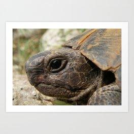 Close Up Side Portrait Of A Turkish Tortoise Art Print