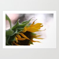 Sunflowers from my food forest  Art Print