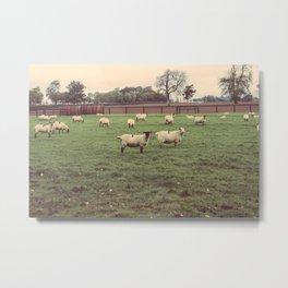 Sheep in Athy, Ireland Metal Print