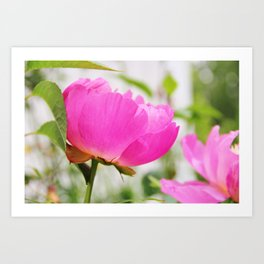 Peony in bloom Art Print
