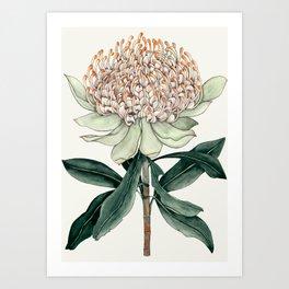 Waratah Botanical Art Print