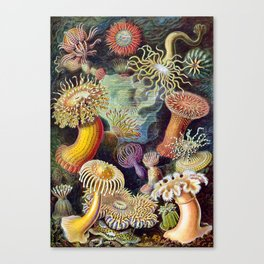 Anemones by Haeckel (Sea Plants and Flowers) Canvas Print