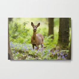 Roe Deer in a Bluebell Wood Metal Print