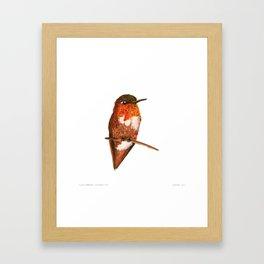 Allen's Hummingbird Framed Art Print