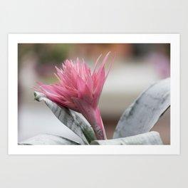 pink aechmea  flower in bloom  in the vase Art Print