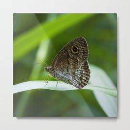 Ypthima SP Butterfly Borneo Metal Print