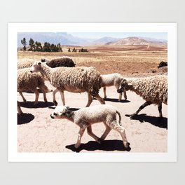 Sheep of Moray - South America Travel Photography Art Print
