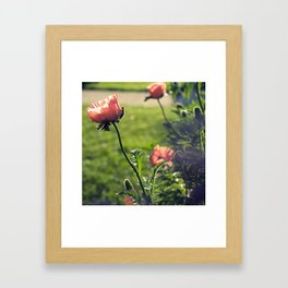 Poppies in the Afternoon Framed Art Print
