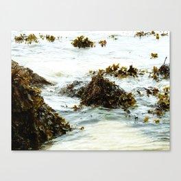 Seaweed Pods Canvas Print