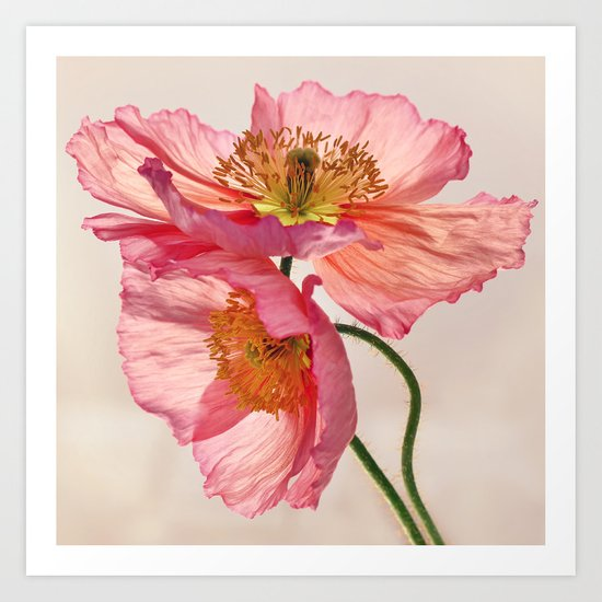 Like Light through Silk - peach / pink translucent poppy floral Art Print
