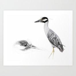 Yellow-crowned night-heron Art Print