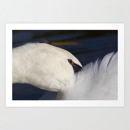 Swan Shyness Art Print
