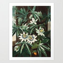 Robert John Thornton - The Passiflora Cerulea Art Print