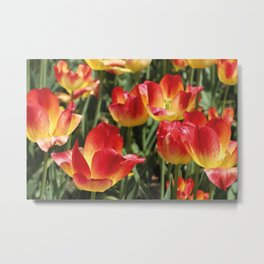 Tulips Flower red yellow color Metal Print
