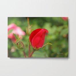 Soft Red Rosebud Metal Print
