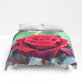 Roses on the city flowerbed. Comforters