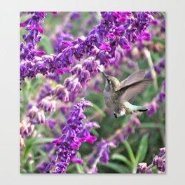 Hummingbird at Mexican Sage Canvas Print