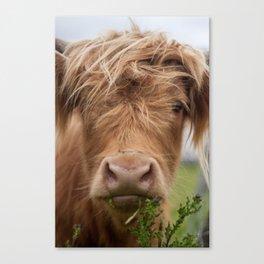 Highlander Cow Canvas Print