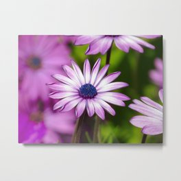Purple Gerbera Daisies 1 Metal Print