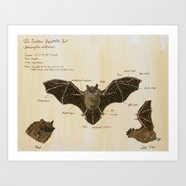 The Eastern Pipistrelle Bat Anatomy Art Print