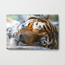 Amur Tiger 1 Metal Print