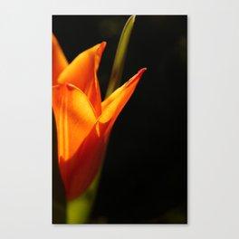 tulip, flower, warm light Canvas Print
