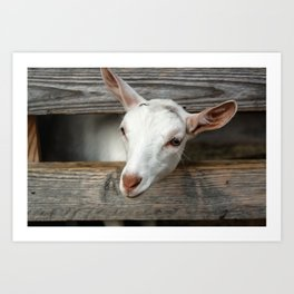 Goats Reach Art Print