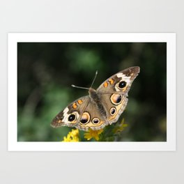 Common Buckeye Butterfly Art Print