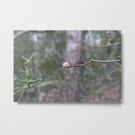 Spring is comming, The blossom and flower buds are showing Metal Print