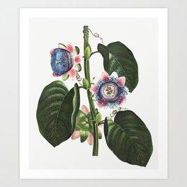 The Quadrangular Passion Flower illustration Art Print