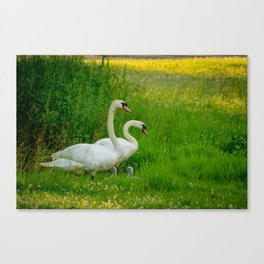 Swans Family Canvas Print