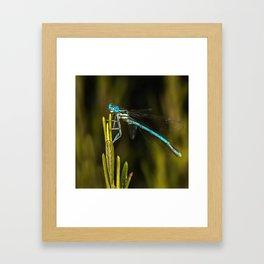 Common Blue Damselfly Framed Art Print