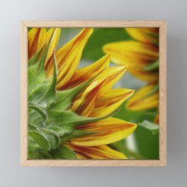 sunflower 01 - a unique perspective of this August beauty Framed Mini Art Print