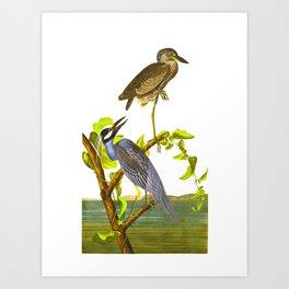 Yellow-Crowned Heron Art Print