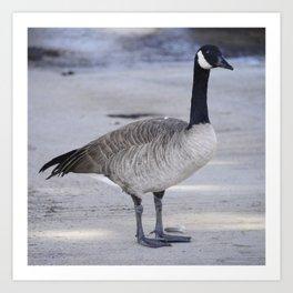 Classic Canadian Goose In Regal Repose Art Print