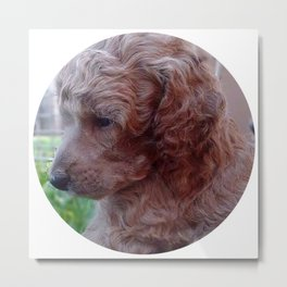 Charly,poodle baby Metal Print