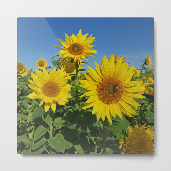 Large sunflower against blue sky in summer Metal Print